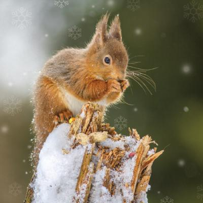 Red Squirrel RAG1035