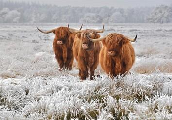 Highland Cattle In A Frozen Field M35