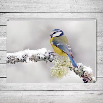 Blue Tit In Winter M11