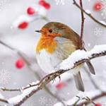 view large image and full details for Winter Robin MAG0025F