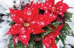 view large image and full details for Poinsettia M15